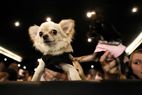 Un chihuahua en Beverly Hills : Foto