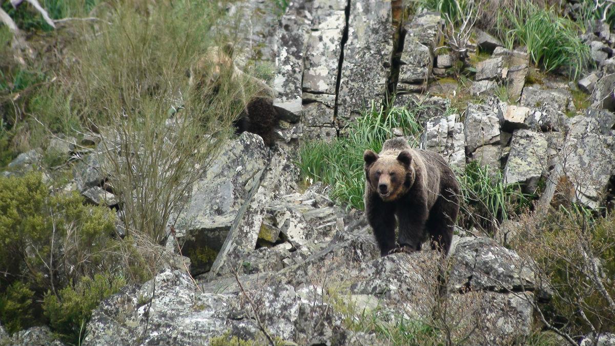 Cantábrico: Los dominios del oso pardo : Foto